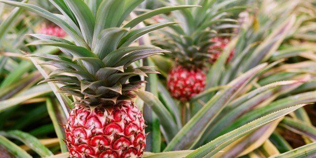 Cut pineapple plant